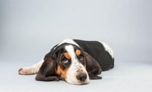 basset-hound-560x340 lily