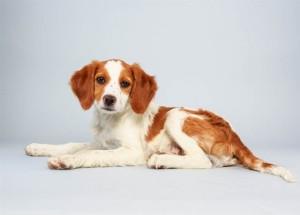 brittany-spaniel-puppies-560x403 laney