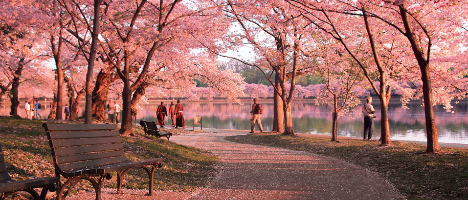 Cherry+Blossom+Path_forWeb